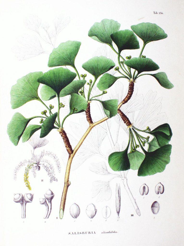 la pianta del gingko biloba